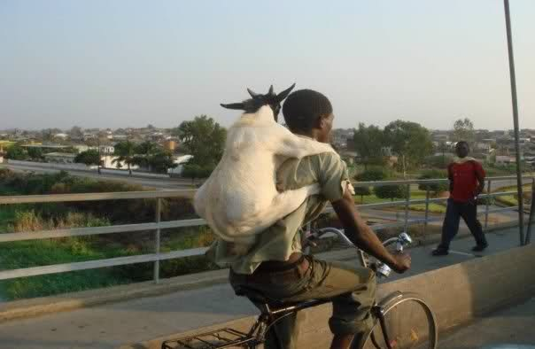 Transportation Dominican Republic Goat large