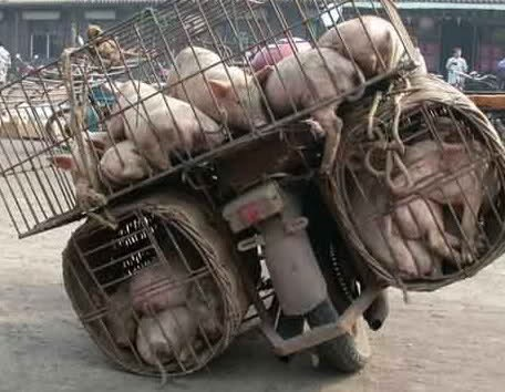 Pig transportation large